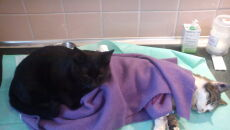 Kot-pielęgniarz opiekuje się chorymi zwierzętami