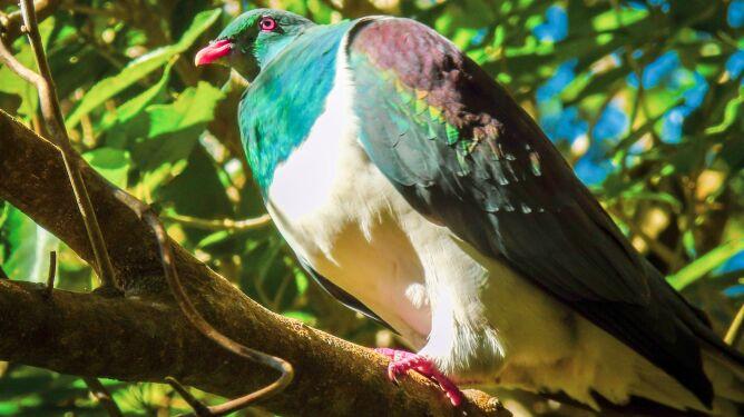 Garlica maoryska (Shutterstock)
