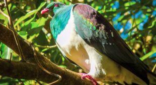 Garlice maoryskie to charakterystyczne ptaki z Nowej Zelandii