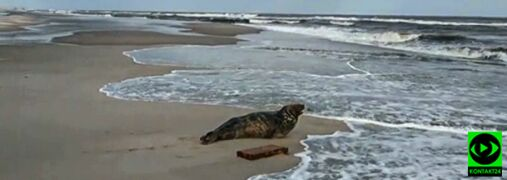 Foka wylegiwała się na plaży w Kuźnicy