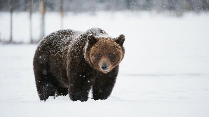 Za ciepło i za mało śniegu. <br />Niedźwiedzie jeszcze nie poszły spać