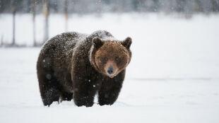 Za ciepło i za mało śniegu. Niedźwiedzie jeszcze nie poszły spać